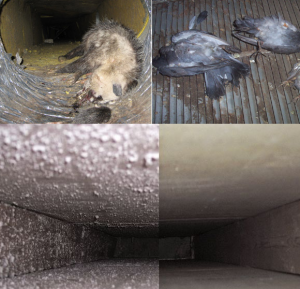 Duct Cleaning - Dead Rodent Removal